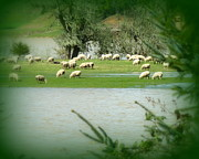 Flooding Photos - Sheep Grazing Amidst Flood by Cindy Wright