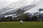 Grazing Snow Prints - Sheep grazing atThe Galtees  Irelands tallest inland mountains Print by Pierre Leclerc