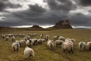 Grassy Field Posters - Sheep Grazing By Lindisfarne Castle Poster by John Short