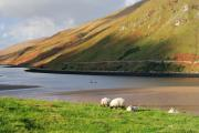 Killary Fjord Prints - Sheep grazing in Connemara Ireland Print by Pierre Leclerc