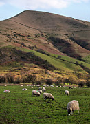 Flock Of Sheep Prints - Sheep Grazing In Peak Print by Michelle McMahon