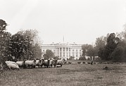 Woodrow Posters - Sheep Grazing On The White House Lawn Poster by Everett