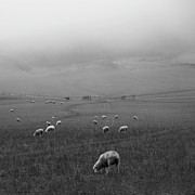 Flock Of Sheep Posters - Sheep Grazing Poster by Sonja Rolton