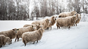 Y120817 Art - Sheep Herd Waking On Snow Field by Coolbiere Photograph