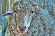 Ears Pyrography Metal Prints - Sheep Metal Print by Imagevixen Photography
