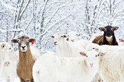 Flock Of Sheep Posters - Sheep In Heavy Snow, Family Farm, Webster County, Poster by Thomas R. Fletcher