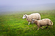 Foggy Photos - Sheep in misty meadow by Elena Elisseeva