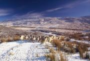 Winter Road Scenes Photo Prints - Sheep In Snow, Glenshane, Co Derry Print by The Irish Image Collection