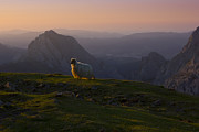 Atardecer Prints - Sheep in the mountains Print by Fernando Alvarez