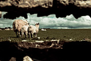 Mammal Framed Prints - Sheep in the Wall Framed Print by Justin Albrecht