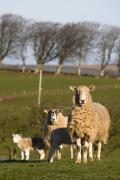 Domesticated Animals Prints - Sheep, Lake District, Cumbria, England Print by John Short