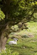 Ewes Art - Sheep Lying Under Tree by John Short
