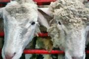 Michelle Calkins - Sheep