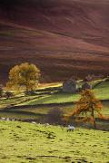Farm Houses Prints - Sheep On A Hill, North Yorkshire Print by John Short