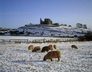 The Kings Photo Prints - Sheep On A Snow Covered Landscape In Print by The Irish Image Collection