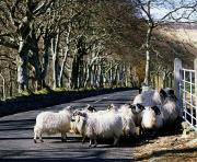 Domesticated Animals Posters - Sheep On The Road, Torr Head, Co Poster by The Irish Image Collection