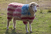 Red White Blue Prints - Sheep with American flag Print by Garry Gay