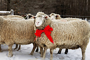 Hair Sheep Photo Prints - Sheep With Red Bow Print by Cavan Images