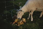 Etc. Photos - Sheep With Two Newborn Lambs by Todd Gipstein