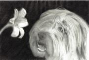 Sheepdog Drawings - Sheepdog Lilly Sniffer by Joshua Hullender