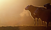 Livestock Photo Metal Prints - Sheeps Breath Metal Print by Peter Chadwick LRPS