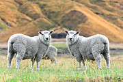 Lambing Metal Prints - Sheeps Metal Print by MotHaiBaPhoto Prints