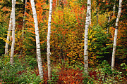 Nancy  de Flon - Shelburne Birches 2