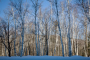 New England Wilderness Prints - Shelburne Birches in Snow Print by Susan Cole Kelly
