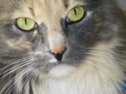 Tortie Prints - Shelbys Eyes 4 Print by Lenore Senior