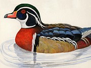 Wood Duck Paintings - Shelduck by Marsha Friedman