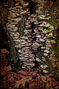 Fungi Digital Art - Shelf Fungi in Autumn by Chris Lord