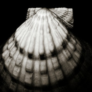 Shell - Sepia Tone Print by Charmian Vistaunet
