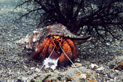 Crustacean Art - Shell-breaking Hermit Crab by Georgette Douwma