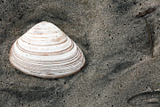 Seashell Art Prints - Shell in the Sand Print by John Rizzuto