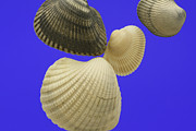 Shell Pattern Framed Prints - Shells Framed Print by Deepak Kumar