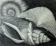 Shells Drawings - Shells by Nancy Mueller