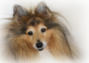 Dog Portrait Framed Prints - Sheltie Dog - A sweet-natured smart pet Framed Print by Christine Till