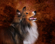 Sheltie Framed Prints - Sheltie I Framed Print by Jai Johnson