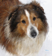 Sheltie Framed Prints - Sheltie In The Snow Framed Print by Jane Schnetlage