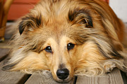 Peaking Prints - Sheltie Print by Kati Molin
