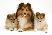 Puppies Framed Prints - Shelties Framed Print by Jane Burton