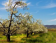 Virginia Landscape Posters - Shenandoah Apple Blossoms Poster by Joyce  Kimble Smith