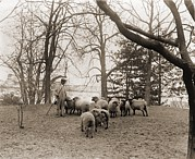 Saving Prints - Shepherd With The White House Sheep Print by Everett
