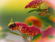 Bumblebee Posters - Sherbet Pollination Poster by DigiArt Diaries by Vicky Browning