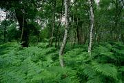 Ferns Paintings - Sherwood Forest by Unknown