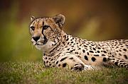 Cheetah Photo Originals - Shes Alert by Chad Davis