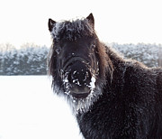 Powder Snow Posters - Shetland Poney Portrait Poster by David Trood