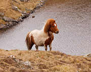 Horse Hill Prints - Shetland Pony On Steep Hill Print by Dominique Walterson
