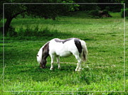 Miniature Effect Photos - Shetland Pony with Oil Painting Effect by Rose Santuci-Sofranko