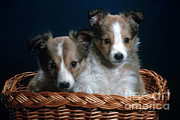 Shetland Dog Posters - Shetland Puppies Poster by Nature Source